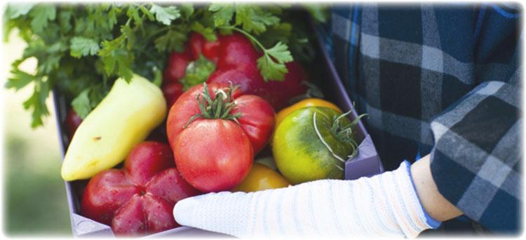 収穫した新鮮野菜